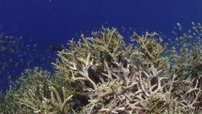Spåra skottet över en intakt korallrev med Acroporakoraller och många tropisk fisk, ultrarapid arkivfilmer