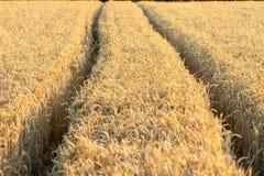 Spårar av traktorhjul i guld- vete, når att ha besprutat med ett kemiskt medel fotografering för bildbyråer