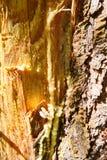Spårar och göra hack i på stammen av trädet efter samlingen av för att sörja kåda arkivbild