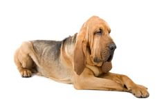 spårhund Arkivfoton