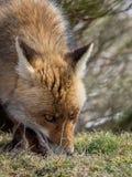 Spårning och sniffa för röd räv (Vulpesvulpes) royaltyfria bilder