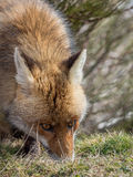 Spårning och sniffa för röd räv (Vulpesvulpes) arkivfoton