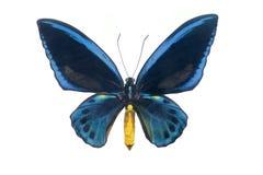 Spécimen de papillon Photos libres de droits