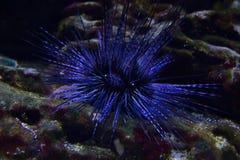 Spécimen vivant d'un garnement de récif, viridis d'Echinometra, sous-marins Photographie stock