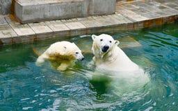 spójrz biegunowy bear Obrazy Stock