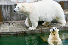 spójrz biegunowy bear Zdjęcia Stock