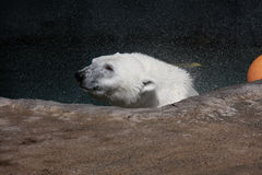 spójrz biegunowy bear obraz stock