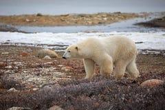 spójrz biegunowy bear zdjęcie stock