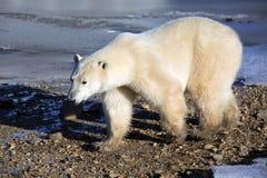 spójrz biegunowy bear Fotografia Stock