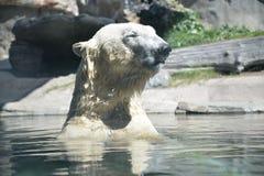 spójrz biegunowy bear fotografia royalty free