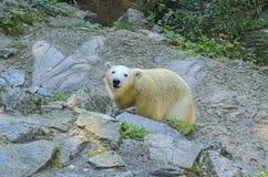 spójrz biegunowy bear Geograficzny pasmo: przez cały zalodzonego nawadnia okołobiegunowy Arktyczny, i ich pasmo ogranicza obok zdjęcie stock