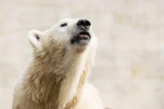 spójrz biegunowy bear Ursus maritimus zdjęcia royalty free