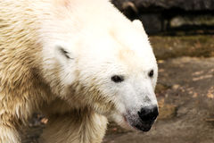 spójrz biegunowy bear Ursus maritimus obraz stock
