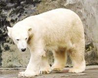 spójrz biegunowy bear Ursus maritimus fotografia royalty free