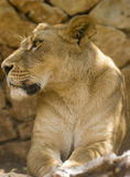 spójrz lwic 2 Zdjęcia Stock