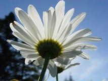 spójrz w górę daisy zdjęcia royalty free