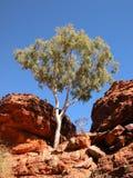 spökeeukalyptusträd Royaltyfri Foto