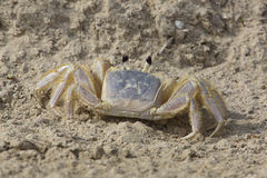 Spökekrabba på en Sandy Beach Fotografering för Bildbyråer