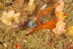 spökepipefishen gör tunnare arkivfoton