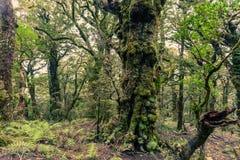 Spöklik jungfrulig bergrainforest Marlborough NZ arkivfoto