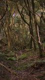 Spöklik lagerskog i Anaga berg, Tenerife, kanariefågelöar, Spanien arkivbild