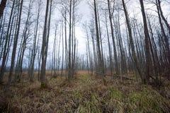 Spöklik skog i sen höst i Kemeri Fotografering för Bildbyråer
