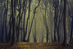 Spöklika träd i dimman av skogen Fotografering för Bildbyråer