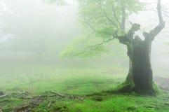 Spöklikt ihåligt träd med dimma Royaltyfri Fotografi