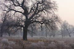 Spöklikt se och gammal ek i vinter med inga sidor som endast precis är synliga till och med tjock dimma Arkivfoton