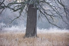 Spöklikt se och gammal ek i vinter med inga sidor som endast precis är synliga till och med tjock dimma Royaltyfri Fotografi