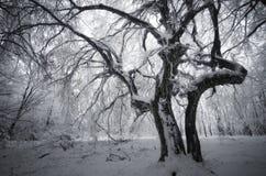 Spöklikt träd i vinter Arkivfoton