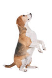 Spürhund Lizenzfreies Stockbild