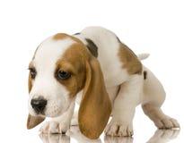 Spürhund stockbild