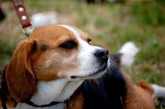 Spürhund stockfoto