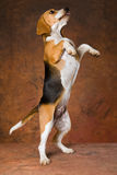 Spürhund auf dem Hinterfahrwerkbeinbitten lizenzfreie stockfotografie