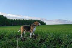 Spürhund auf einem Weg auf einem grünen Gebiet auf dem Waldhintergrund Stockbild