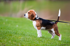 Spürhund auf grünem Gras Lizenzfreie Stockbilder