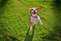 Spürhund auf Gras lizenzfreies stockfoto