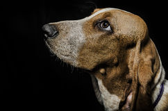 Spürhund auf schwarzem Hintergrund Lizenzfreie Stockbilder