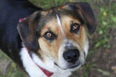 Spürhund Austrailian Shepard Mix Lizenzfreie Stockfotos