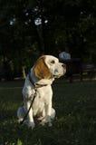 Spürhund, der auf einen Weg in einem Stadtpark wartet Lizenzfreie Stockbilder