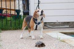 Spürhund, der an der Schildkröte bellt Stockfoto