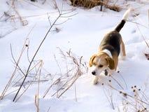 Spürhund, der ein Kaninchen im Schnee jagt Lizenzfreies Stockfoto