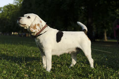 Spürhund, der in einem Stadtpark bellt Stockfoto