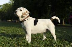 Spürhund, der in einen Stadtpark wartet Lizenzfreies Stockbild