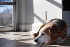 Spürhund, der an einer Hündchentagesbetreuung und -badekurort sich entspannt stockbilder