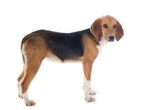Spürhund-Geländeläufer lizenzfreie stockfotos