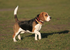 Spürhund - Hund Stockfoto