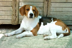 Spürhund, Hund lizenzfreies stockbild