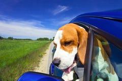 Spürhund im blauen Auto Stockfotografie